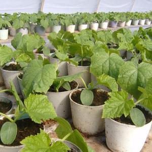 Мраморная тыква: характеристики сорта, фото, выращивание и отзывы