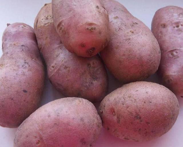 Картофель Ред Скарлет: описание сорта, выращивание, плюсы, минусы и отзывы огородников