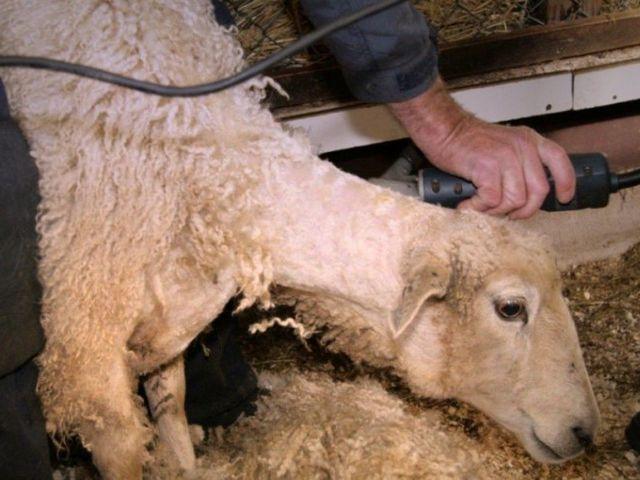 Машинка для стрижки овец: разновидности, критерии выбора и популярные модели
