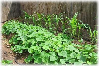 Красная кукуруза: описание, сорта, посадка и уход, сбор и хранение урожая