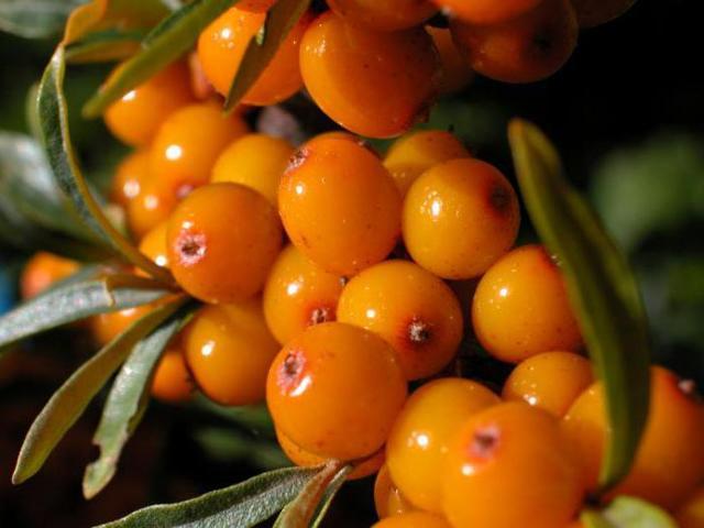 Облепиха: посадка и уход, размножение и обрезка, борьба с вредителями и сбор урожая