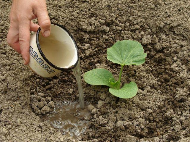 Кабачок якорь: описание сорта, особенности выращивание рассады и саженцев