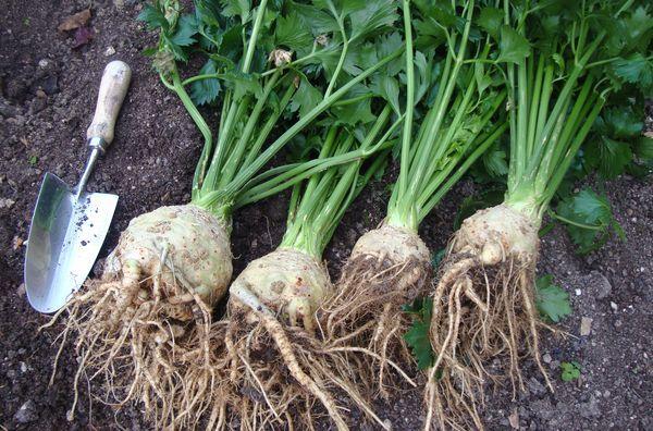 Сельдерей под зиму: сроки, особенности посева, уход в период вегетации