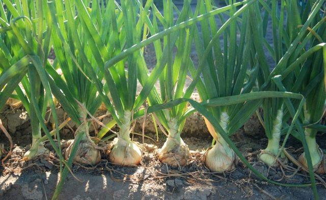 Лук Купидо: характеристика сорта, фото, выращивание, отзывы