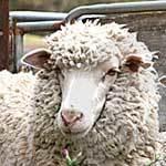 Кетоз у козы: симптомы, причины, лечение, прогноз и профилактика