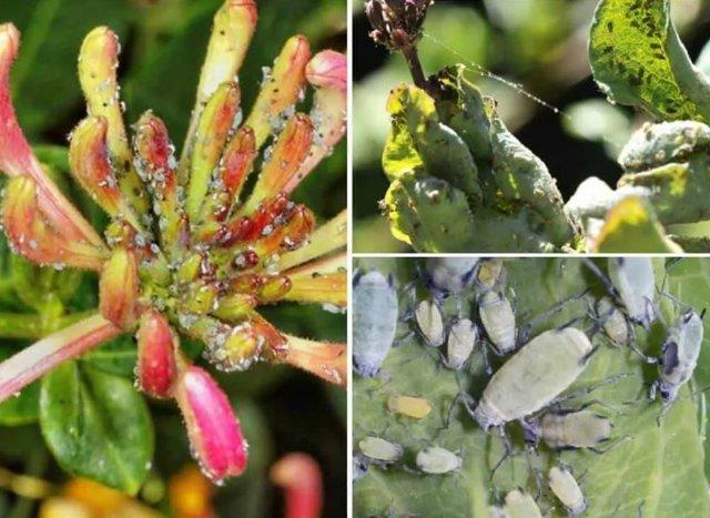 Жимолость Каприфоль: описание сорта с фото, посадка, выращивание, уход, отзывы