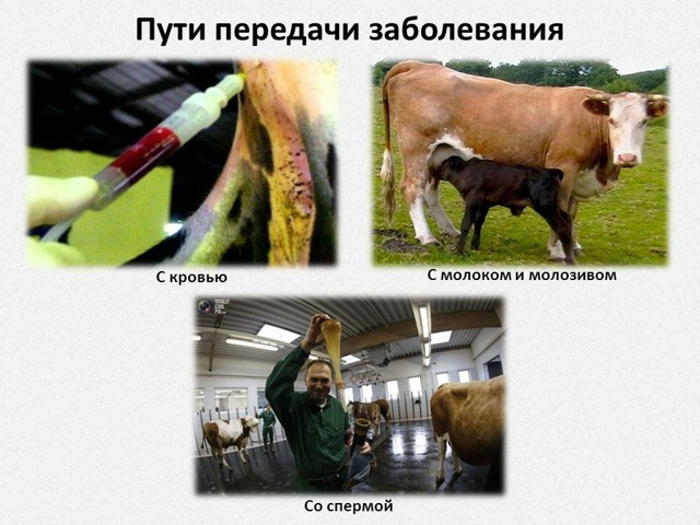 Лейкоз у коров: как передается, симптомы, чем опасен, лечение