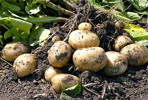 Вредители картофеля: методы борьбы и профилактики