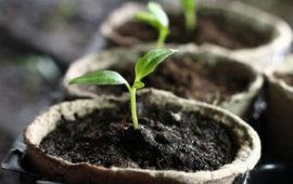 Подкормка рассады перца: виды, способы, сроки, признаки дефицита и полезные советы