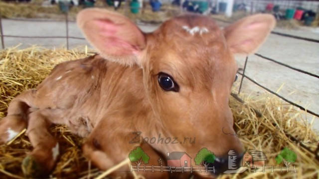 Понос у теленка: причины, что делать, как остановить и можно ли предотвратить?