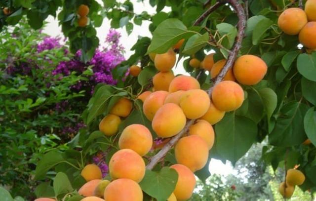 Абрикос персиковый: описание, фото, техника посадки, ухода и выращивания