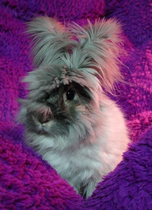 Ангорский Кролик: описание породы, фото, характеристики, уход, отзывы