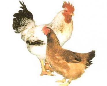 Породы кур с их описанием и фото. Полный список пород