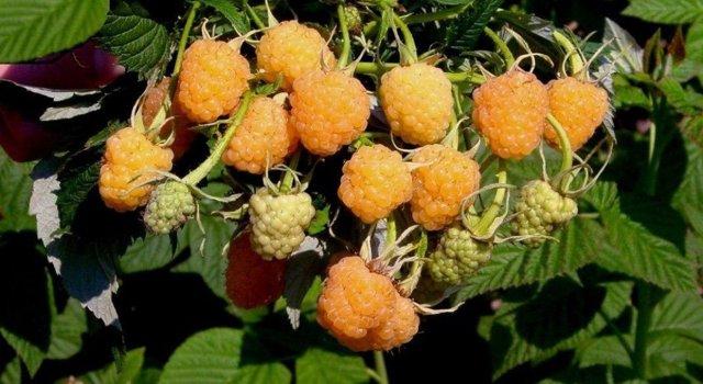Желтая малина: сорта, фото, выращивание и уход, отзывы