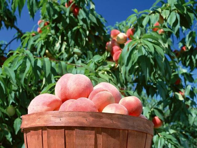 Посадка персика весной: сроки, пошаговые инструкции, последующий уход