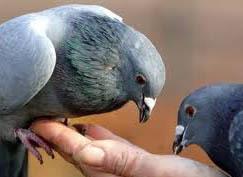 Содержание и кормление голубей зимой: требования к голубятне, рацион