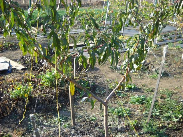 Посадка персика осенью: способы, сроки, инструкции, уход