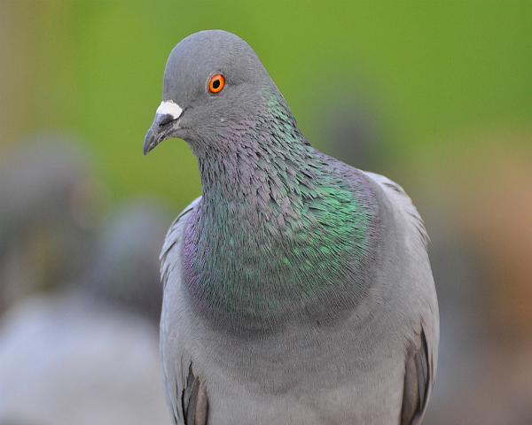 Дикие и лесные голуби: описание, фото, виды, правила приручения и содержания