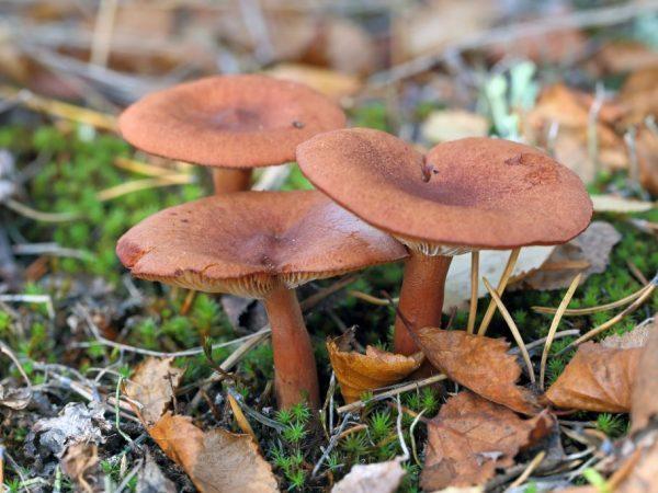 Гриб горькушка: описание, фото, где растет, съедобен или нет, похожие грибы, применение и выращивание