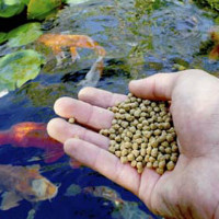 Кормление рыбы в пруду: правила, корма, режим