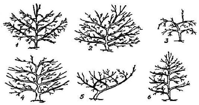 Слива: посадка и уход, сорта, обрезка и сбор урожая