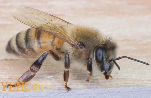 Итальянская порода пчёл: характеристика и особенности содержания