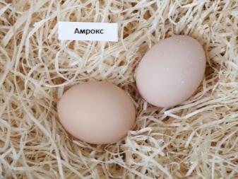 Куры Амрокс: описание породы, производительность, уход, содержание и разведение