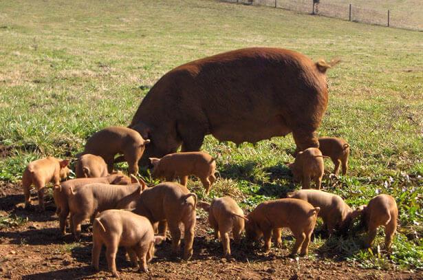 Свиньи породы Дюрок: характеристика, содержание, кормление, разведение, болезни