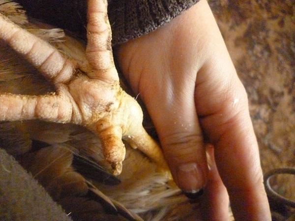 Почему куры падают на ноги: причины и чем лечить?