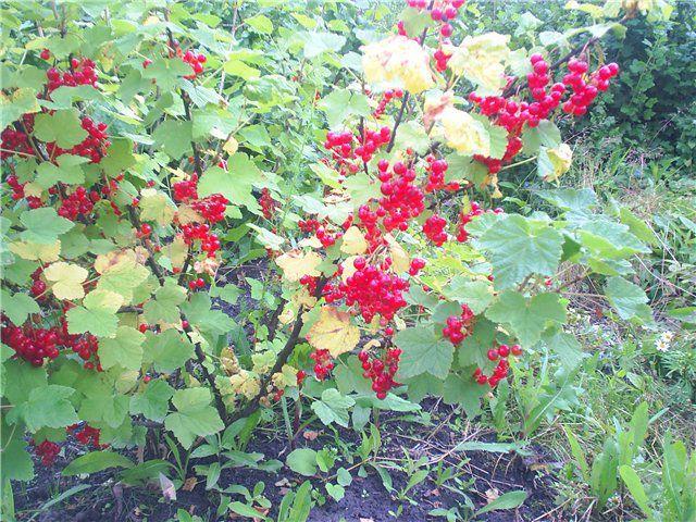 Красная смородина Натали: описание сорта, фото, особенности выращивания и реальные отзывы