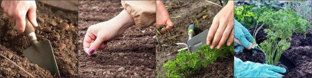 Петрушка: посадка и уход в открытом грунте и на подоконнике
