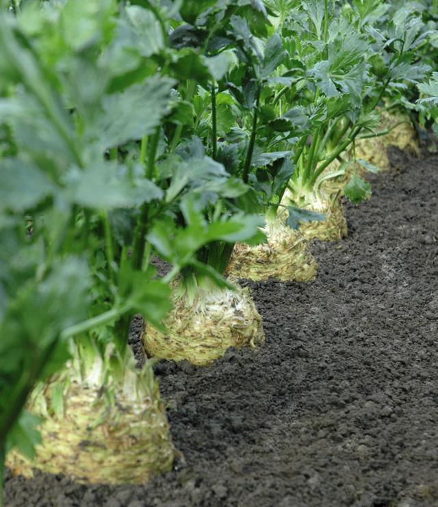 Выращивание корневого сельдерея: посадка и уход, лучшие сорта, отзывы