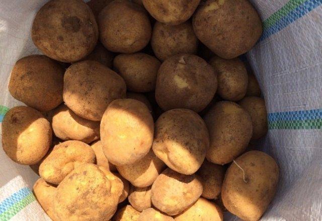 Картофель сорта Венета: описание, характеристики, особенности выращивания