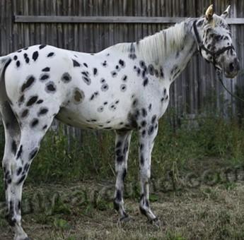 Масти лошадей: вороная, гнедая, рыжая, чубарая, чалая, а также отмастки