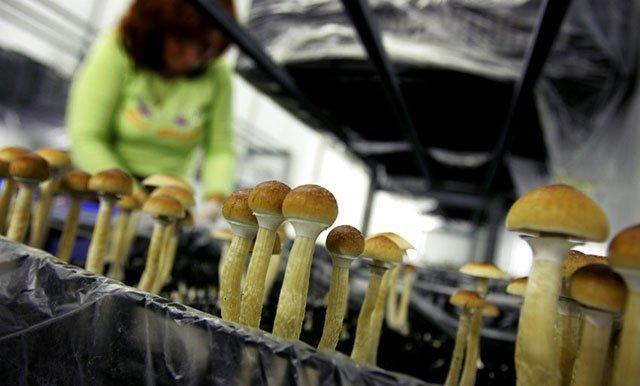 Что такое мицелий (грибница): структура, свойства, жизненный цикл и способы выращивания грибов