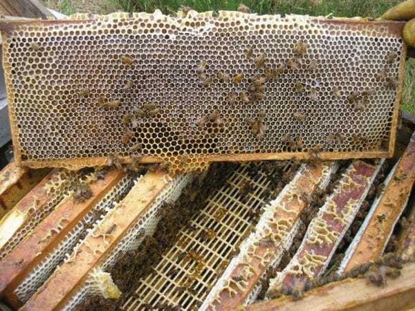 Пчелиная матка: описание, как выглядит и какую роль исполняют, жизненный цикл