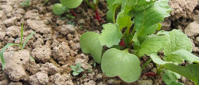 Сорта редьки: описание, сроки созревания и особенности выращивания