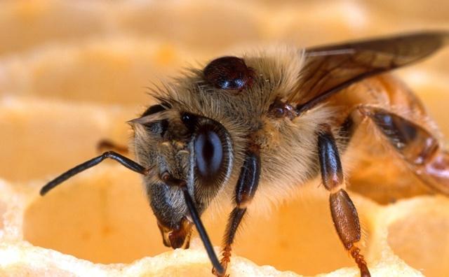Варроатоз пчел: симптомы, лечение, профилактика