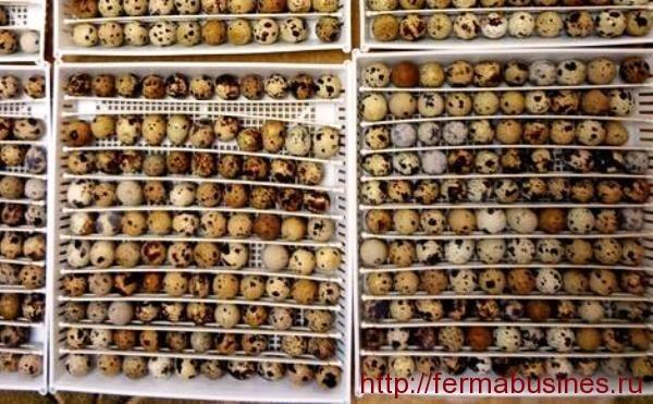 Маньчжурский перепел: описание породы, содержание, разведение и продуктивность