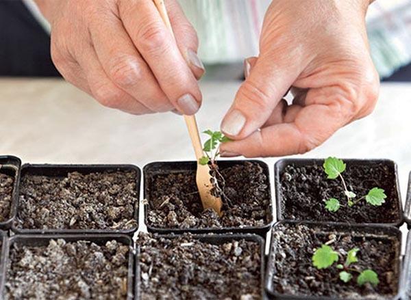 Ремонтантная земляника: основы выращивания, пикировки, ухода