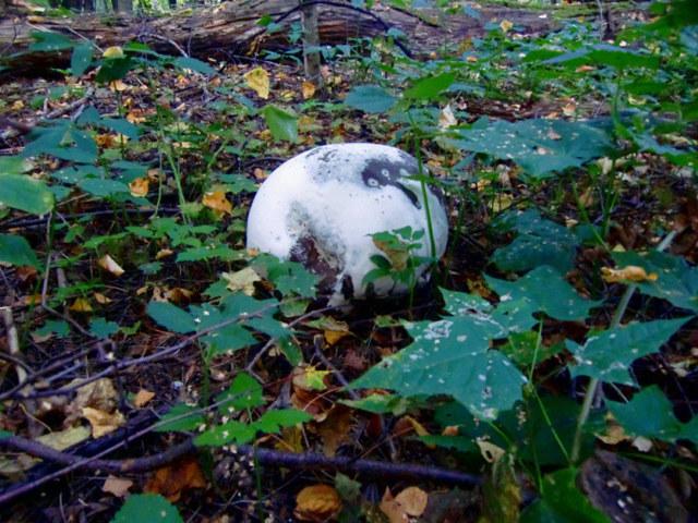 Гриб дождевик: описание, виды, фото, выращивание, применение