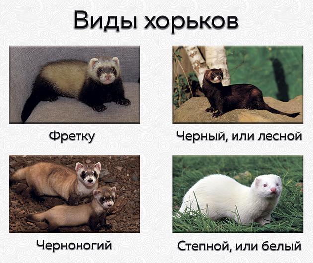 Степной хорёк: описание, ареал, содержание, уход, питание, размножение, виды