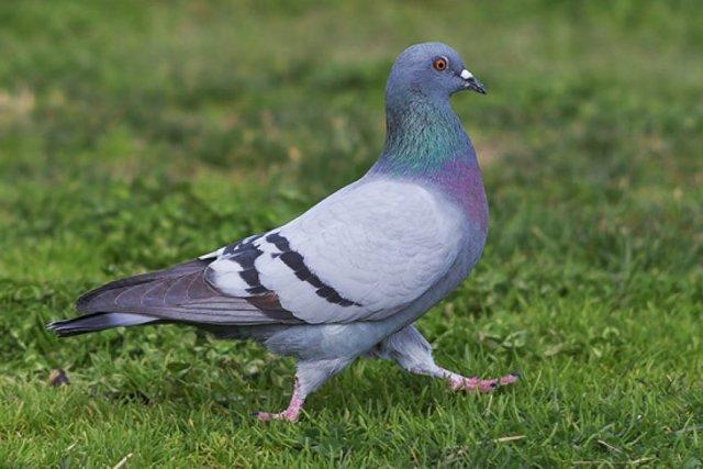 Где и сколько живут голуби в дикой природе, городе, домашних условиях
