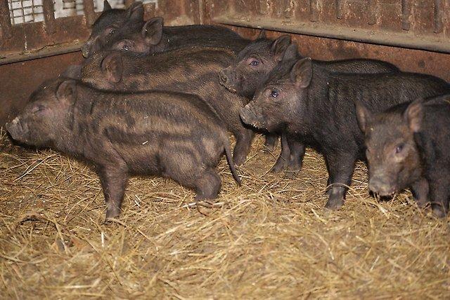 Свиньи кармалы: характеристика породы, выращивание, разведение и уход