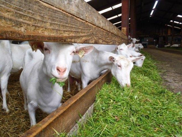 Как выбрать козу: правила выбора и популярные породы