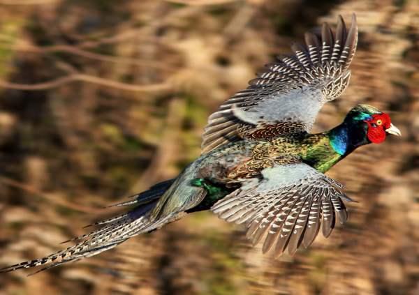Породы фазанов: описание характеристик с фото