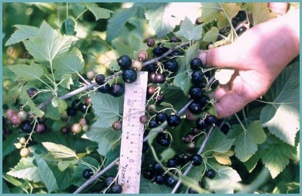 Чёрная смородина Пигмей: описание сорта, фото, отзывы, особенности выращивания и ухода