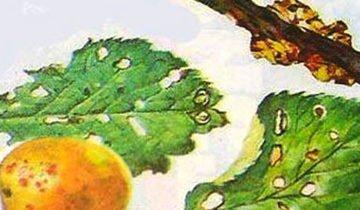 Абрикос Триумф северный: описание сорта, фото, отзывы, правила посадки и ухода