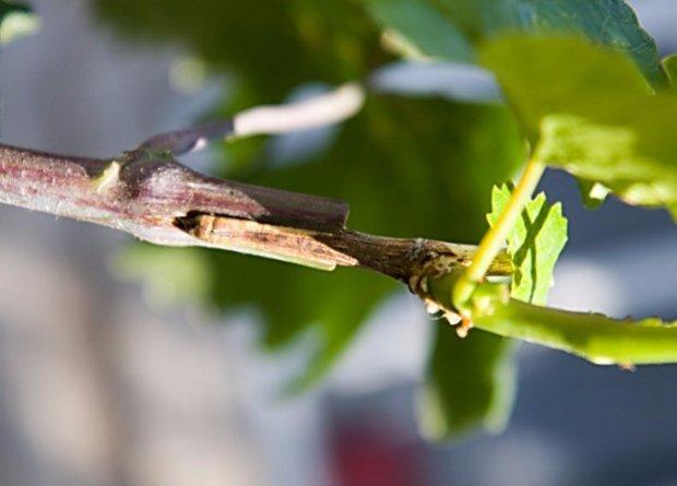 Прививка винограда: сроки, инструменты, методы и пошаговые инструкции к ним
