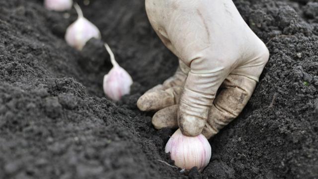 Чеснок Соло: описание, посадка, уход и сбор урожая